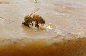 differenza api e vespe