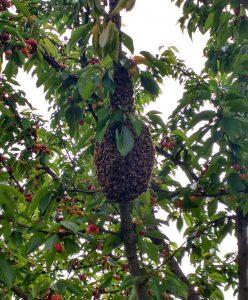 sciame di api maggio
